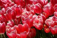Tulipanes rosados que brillan bajo luz de la mañana Imagen de archivo