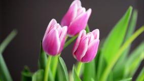 Tulipanes rosados que se sacuden en el viento almacen de metraje de vídeo