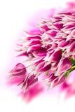 Tulipanes rosados y blancos Imagen de archivo