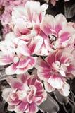 Tulipanes rosados y blancos Imágenes de archivo libres de regalías