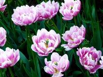 Tulipanes rosados y blancos asombrosos Fotografía de archivo