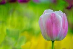 Tulipanes rosados y blancos en la plena floración Imagen de archivo