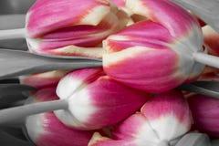 Tulipanes rosados y grises Fotografía de archivo