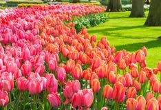 Tulipanes rosados y rojos Fotografía de archivo