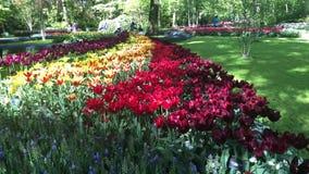 Tulipanes rosados y rojos almacen de video