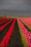 Tulipanes rosados y rojos del campo Fotos de archivo