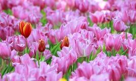 Tulipanes rosados y rojos en Tailandia Imagen de archivo libre de regalías