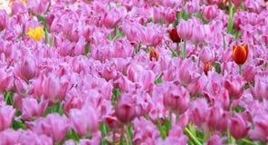 Tulipanes rosados y rojos en Tailandia Imagen de archivo