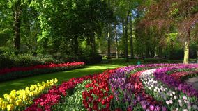 Tulipanes rosados y rojos