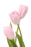 Tulipanes rosas claros Fotografía de archivo libre de regalías