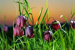 Tulipanes salvajes Imagenes de archivo