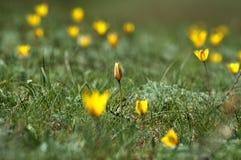 Tulipanes salvajes fotografía de archivo libre de regalías