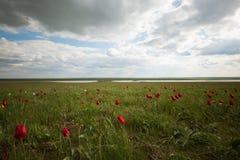 Tulipanes salvajes Imágenes de archivo libres de regalías