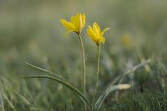 Tulipanes salvajes amarillos en el prado imagenes de archivo