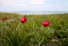 Tulipanes salvajes en la estepa Fotos de archivo libres de regalías