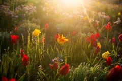 Tulipanes salvajes Shrenka Foto de archivo