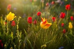 Tulipanes salvajes Shrenka Foto de archivo libre de regalías