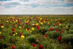 Tulipanes salvajes Shrenka Fotografía de archivo
