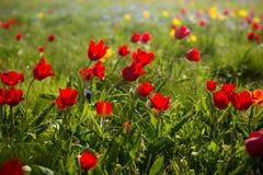Tulipanes salvajes Shrenka Fotografía de archivo libre de regalías