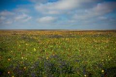 Tulipanes salvajes Shrenka Imagenes de archivo