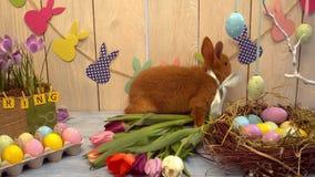 Tulipanes smeling del conejo de pascua de la celebración del concepto tradicional mullido del símbolo almacen de video