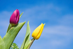 Tulipanes sobre el cielo azul Imagenes de archivo