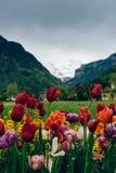 Tulipanes suizos Foto de archivo libre de regalías