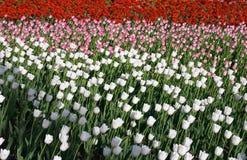 Tulipanes tricolores Imagen de archivo libre de regalías