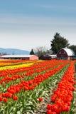 Tulipanes Tulip Farm con el granero Imagen de archivo libre de regalías