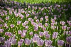 Tulipanes ultravioletas, imagen del srgb Imagen de archivo libre de regalías