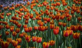 Tulipanes ultravioletas, imagen del srgb Imágenes de archivo libres de regalías