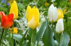 Tulipanes varicolored hermosos. Fondo de la naturaleza. imagen de archivo libre de regalías