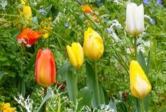 Tulipanes varicolored hermosos Fondo de la naturaleza Fotos de archivo libres de regalías