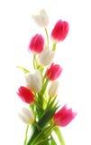 Tulipanes verticales Imágenes de archivo libres de regalías