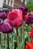 Tulipanes vibrantes Foto de archivo