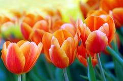 Tulipanes vibrantes Fotografía de archivo