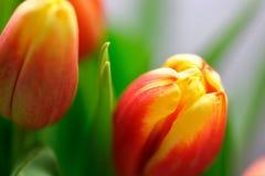Tulipanes vibrantes del bebé Fotos de archivo libres de regalías