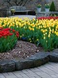 Tulipanes vibrantes en la floración Fotos de archivo