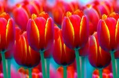 Tulipanes vibrantes hermosos Fotografía de archivo