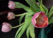 Tulipanes VII Fotos de archivo libres de regalías