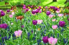 Tulipanes violetas, en primavera, debajo del sol brillante en el jardín de Keukenhof-Lisse, Países Bajos Foto de archivo libre de regalías