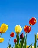 Tulipanes vivos Fotografía de archivo libre de regalías