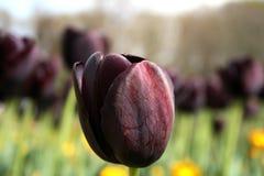 Tulipanes y árboles negros Fotografía de archivo