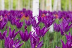 Tulipanes y abedul blanco Imagen de archivo