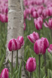 Tulipanes y abedul blanco Fotografía de archivo