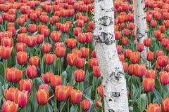 Tulipanes y abedul blanco Fotos de archivo