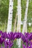 Tulipanes y abedul blanco Fotografía de archivo libre de regalías