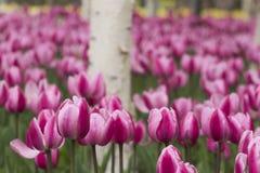 Tulipanes y abedul blanco Imagen de archivo libre de regalías