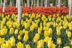 Tulipanes y abedul blanco Imágenes de archivo libres de regalías