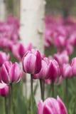 Tulipanes y abedul blanco Foto de archivo libre de regalías